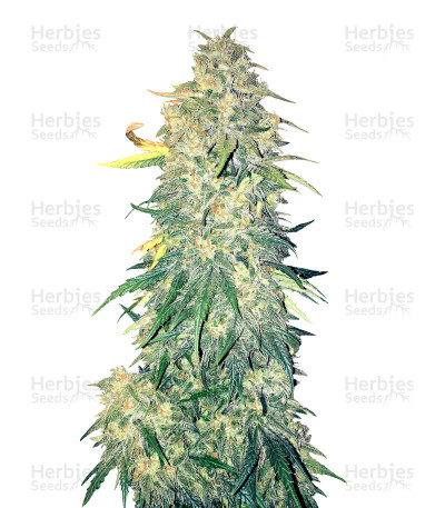 Buy Chemdogging Auto feminized seeds