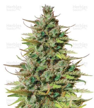 Tangie Auto (BlimBurn Seeds) Cannabis-Samen