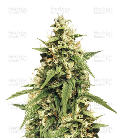 Buy Jack 47 XL Auto feminized seeds