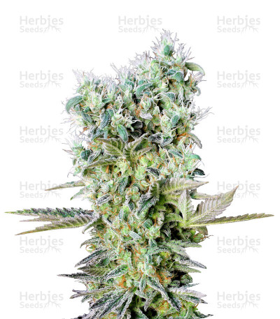 Buy Northern Lights X feminized seeds