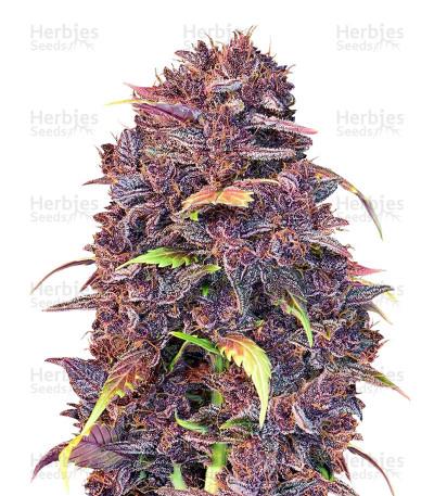 Purple Lemonade (FastBuds)