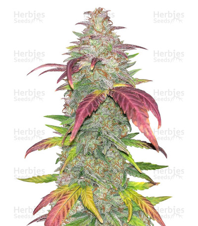 Buy Sour Crack Auto feminized seeds
