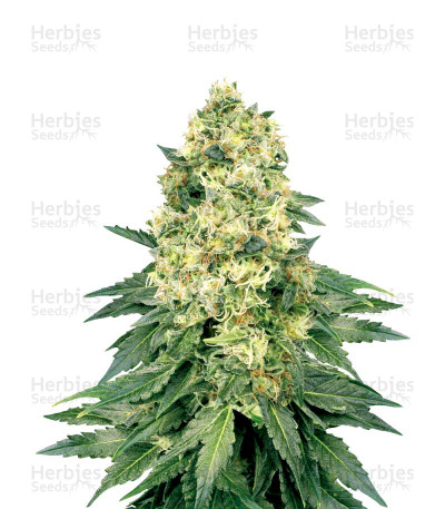 Buy White Widow Regular seeds