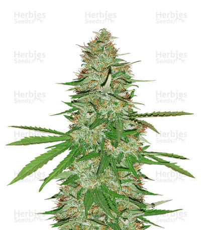 Buy Strawberry Banana feminized seeds