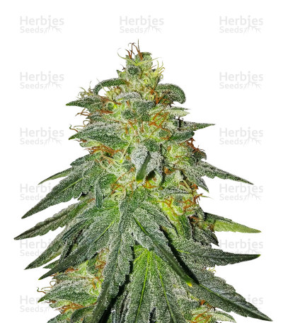 Buy Bruce Banner #3 feminized seeds