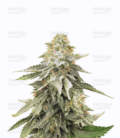 Girl Scout Cookies regular (BC Bud Depot Seeds) Cannabis-Samen
