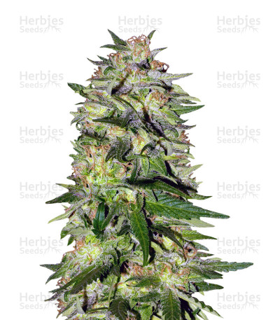 Buy Jack Plant feminized seeds