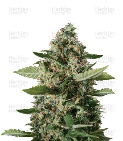 Graines de cannabis Sour Diesel (BlimBurn Seeds)