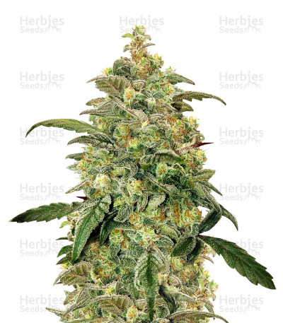 Buy Toof Decay Auto feminized seeds