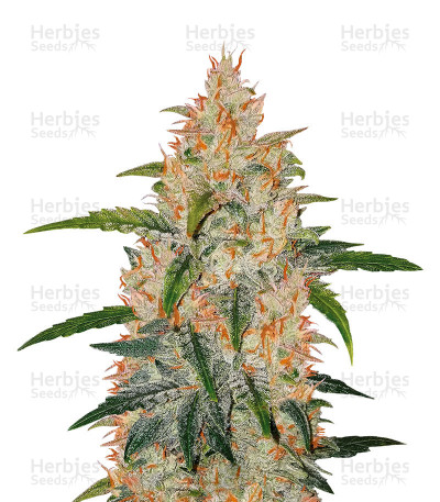 Buy Zkittlez Auto feminized seeds