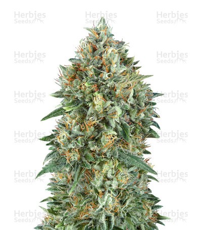 Buy Auto Gelato 33 feminized seeds