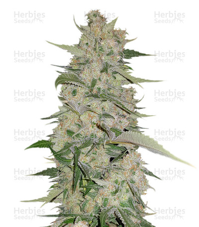 Buy Mangobiche Kush Regular seeds