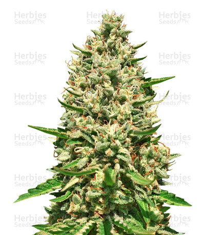 Buy Early Bubba Hash feminized seeds