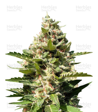 Buy White Kush Feminized Seeds