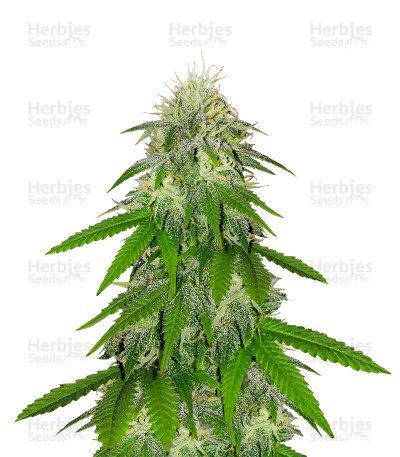 Buy LA Chocolat feminized seeds
