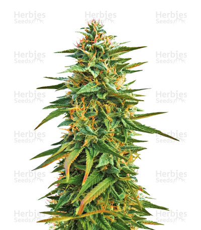 Buy Malawi feminized seeds