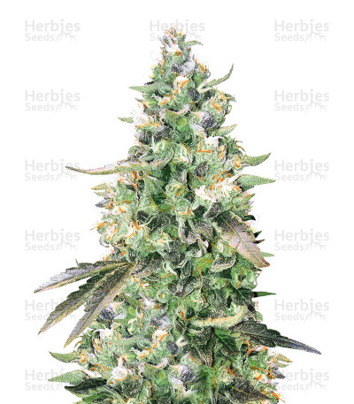 Buy Kritikal Bilbo x AK47 feminized seeds