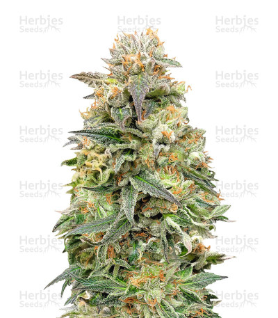 Buy Shark Widow CBD feminized seeds