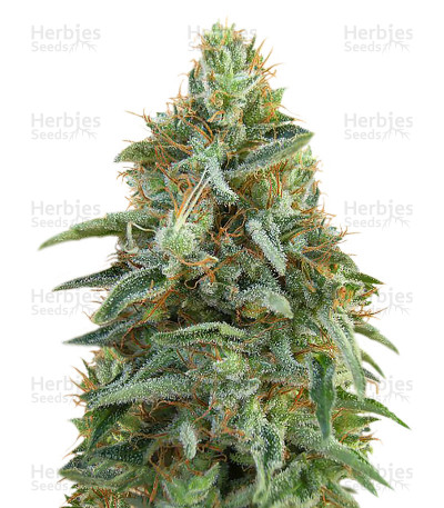 Buy Tikal feminized seeds