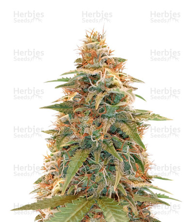 Berry Bomb Regular (Bomb Seeds)