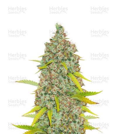 Moonshine's Ghost Train Haze (Rare Dankness Seeds) Cannabis-Samen