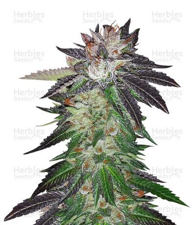 Buy Purple OG#18 feminized seeds