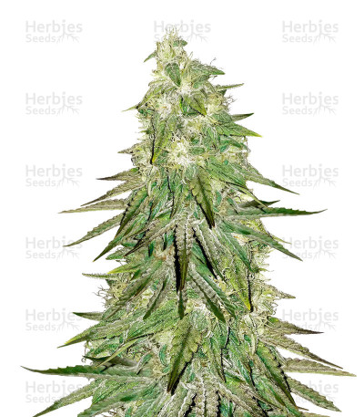 Buy Acid Dough feminized seeds