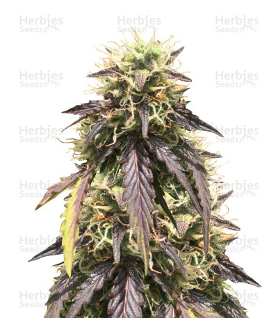 Buy Thin Mint Crack Autoflower feminized seeds