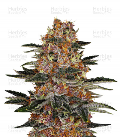 Buy Purple Punch Auto feminized seeds