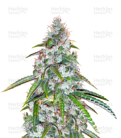 Buy Sour Diesel Regular seeds