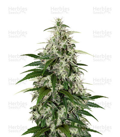 Buy Kalashnikova Auto feminized seeds
