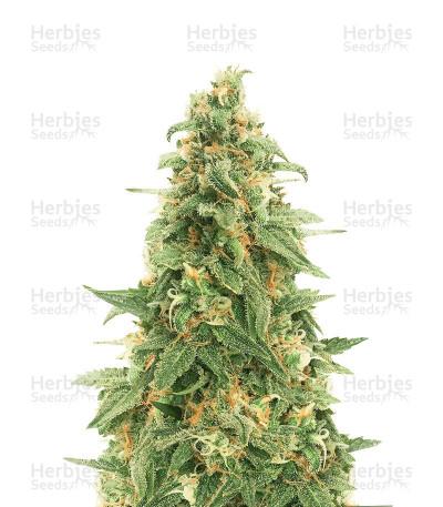 Zombie Death Fuck (BlimBurn Seeds) Cannabis-Samen