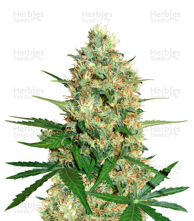 Buy Cole Train feminized seeds