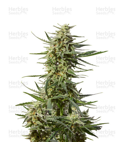 Buy Critical 47 Express Auto feminized seeds