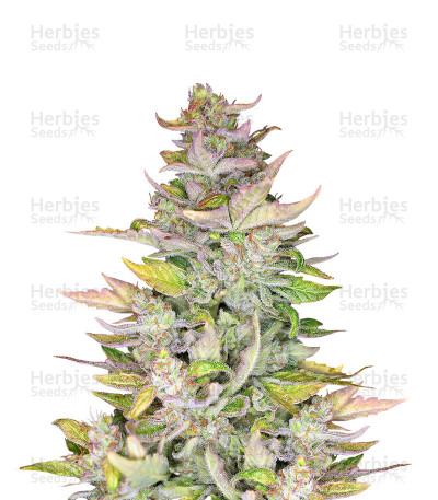 Buy Mexican Sativa feminized seeds