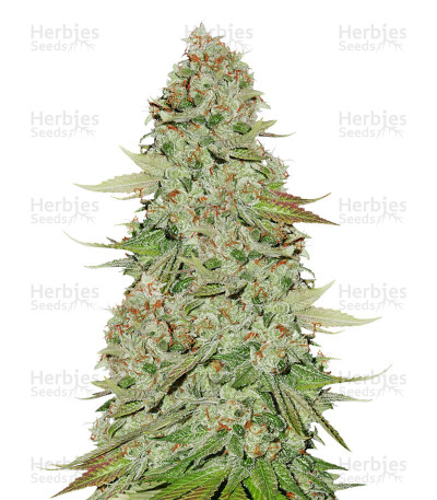 Buy Sticky Monkey GG#4 feminized cannabis