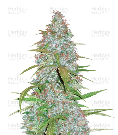 Buy Californian Snow Auto feminized seeds