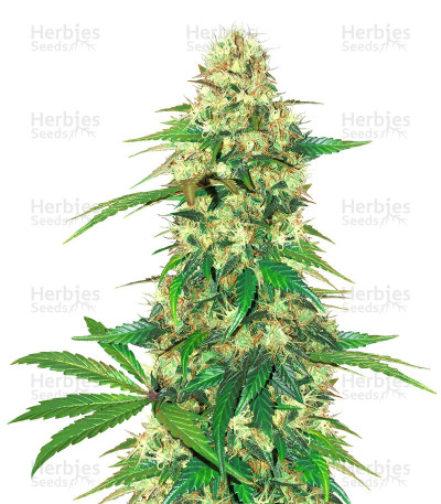 Buy Fruit Cake feminized seeds