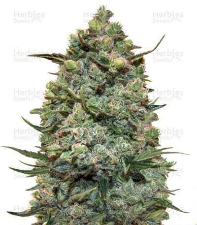 Buy Hawaiian Punch feminized seeds
