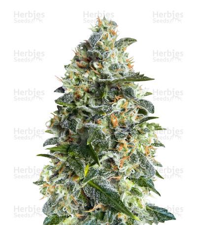Buy Heavy Bud feminized seeds