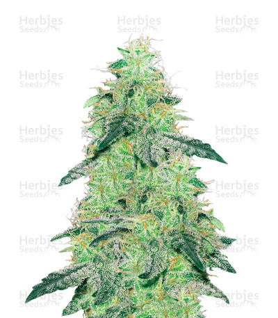 Buy White Skunk Regular seeds