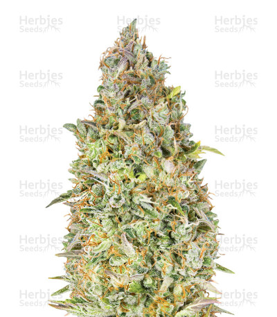 Buy Skunk 47 feminized seeds