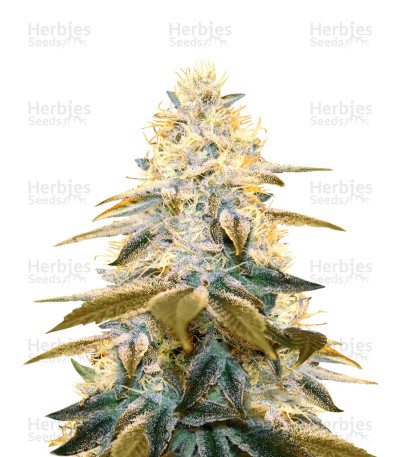 Strawberry Glue (T.H. Seeds)