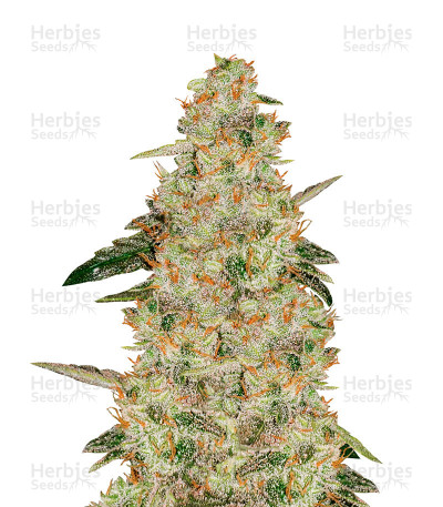 Buy Auto White Widow feminized seeds
