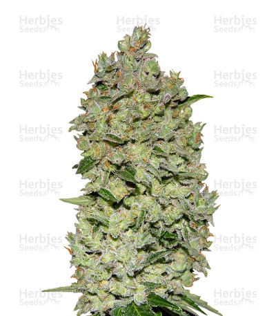 Buy Auto Bio Diesel Mass feminized seeds