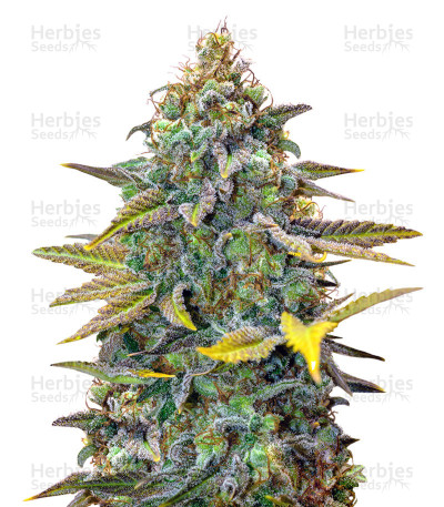 Buy Cinderella 99 Regular seeds