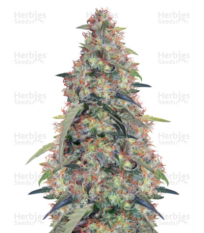 Buy Bubba Hash feminized seeds