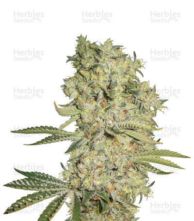 Buy Cal-train Wreck feminized seeds
