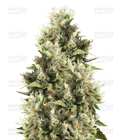 Buy Amnesia Haze Regular seeds