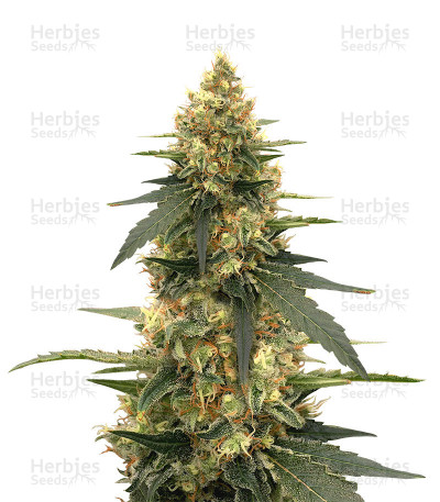 Buy Strawberry Lemonade feminized seeds